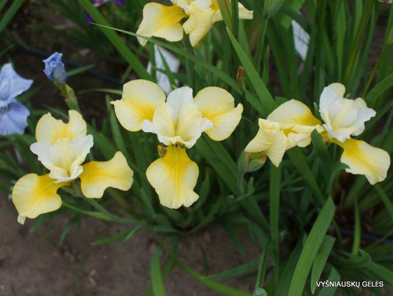Iris 'Northern Yellow' (3)