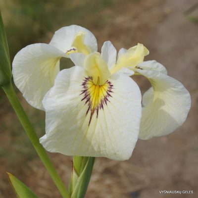Iris 'Phantom Island'