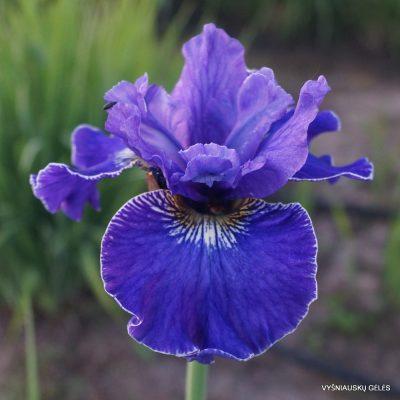 Iris 'Plissee'