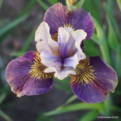 Iris 'Prophet's Kiss' (2)