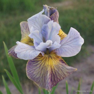 Iris 'Sun Comes Up' (2)
