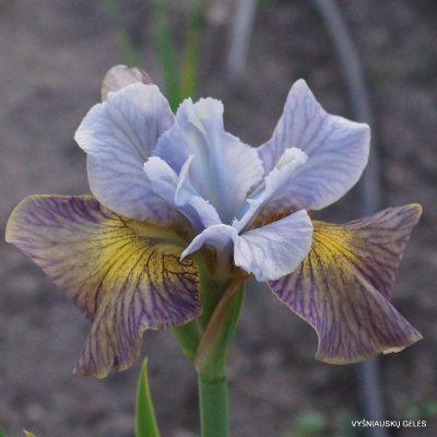 Iris 'Sun Comes Up'