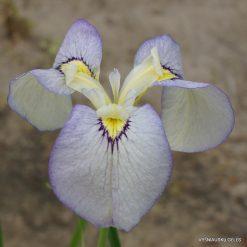 Iris 'Tsukiyono'