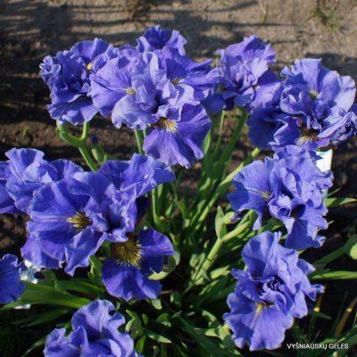Iris 'Tutu Blue' (2)