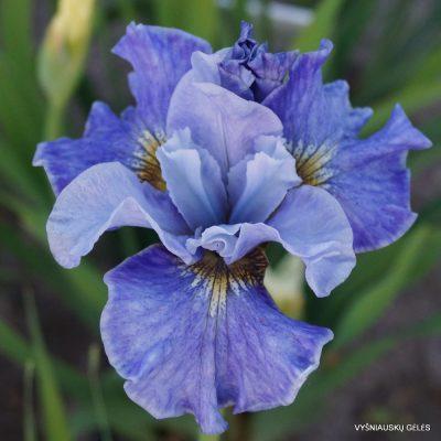 Iris 'Tutu Blue'