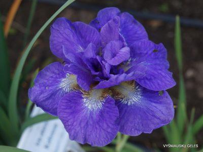 Iris 'Uzushio' (3)