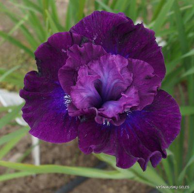 Iris 'Werderwein' (2)
