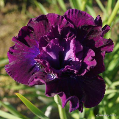 Iris 'Werderwein'