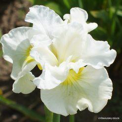 Iris sibirica 'Frilly Vanilly' (3)