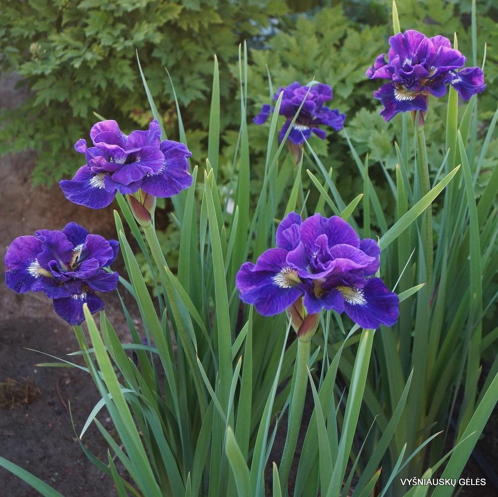 Iris sibirica 'Kaboom' (2)