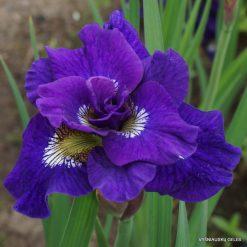 Iris sibirica 'Kaboom' (5)