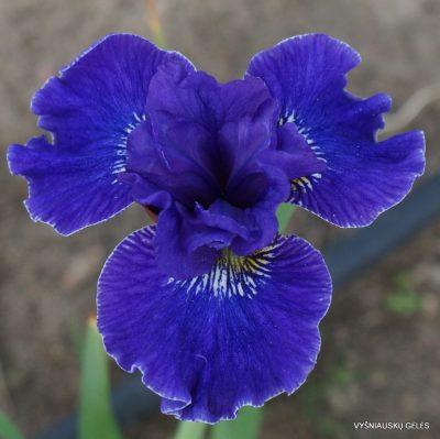 Iris sibirica 'Plissee'
