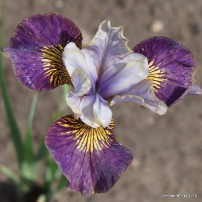 Iris sibirica 'Prophet's Kiss' (2)