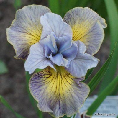 Iris sibirica 'Sun Comes Up'