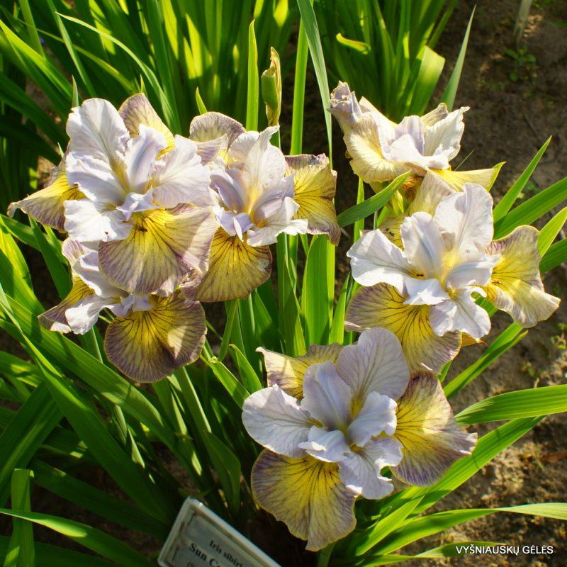 Iris sibirica 'Sun Comes Up' (5)