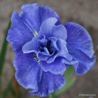 Iris sibirica 'Tutu Blue'