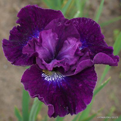 Iris sibirica 'Werderwein'