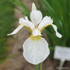 Iris x sibtosa 'Butterfly Fountain'