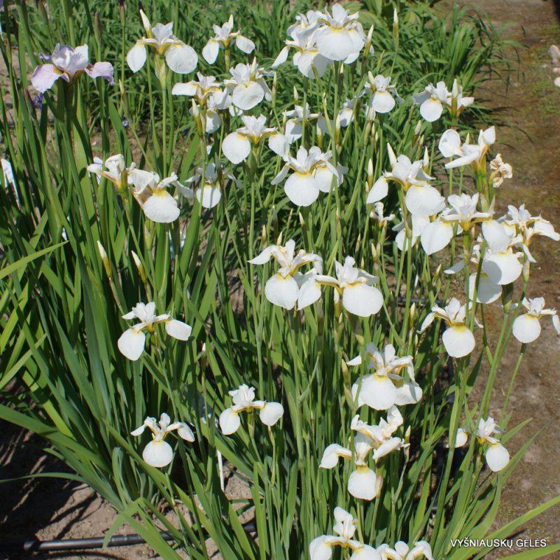 Iris x sibtosa 'Butterfly Fountain' (3)