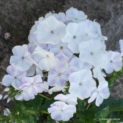 Phlox 'Aisberg'