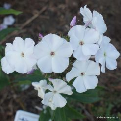 Phlox 'Belokrylaya Staya' (3)