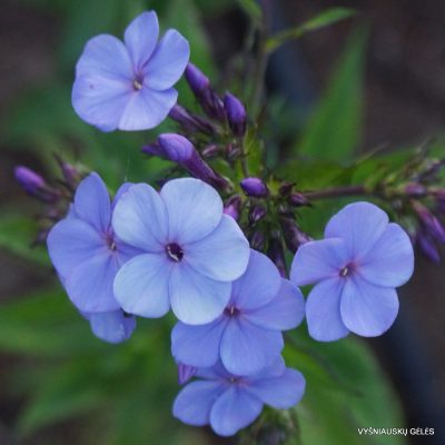 Phlox 'Blaue Urgewalt'