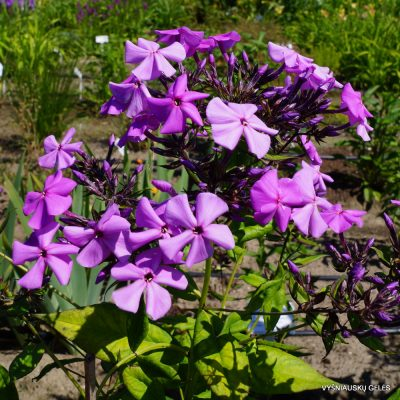 Phlox 'Blue Ridge Giant' (2)
