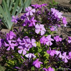 Phlox 'Blue Ridge Giant'