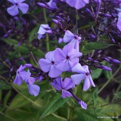 Phlox 'Blue Ridge Giant' (3)