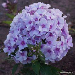 Phlox 'Bluette'