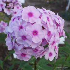 Phlox 'Briliant Eye'