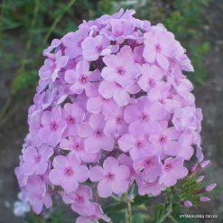 Phlox paniculata E