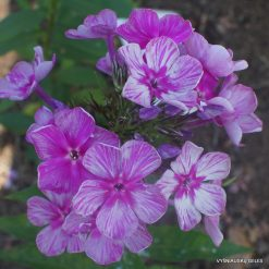 Phlox 'Graffiti'