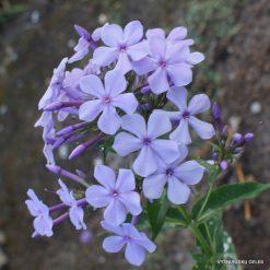 Phlox 'Lila Miniatur'