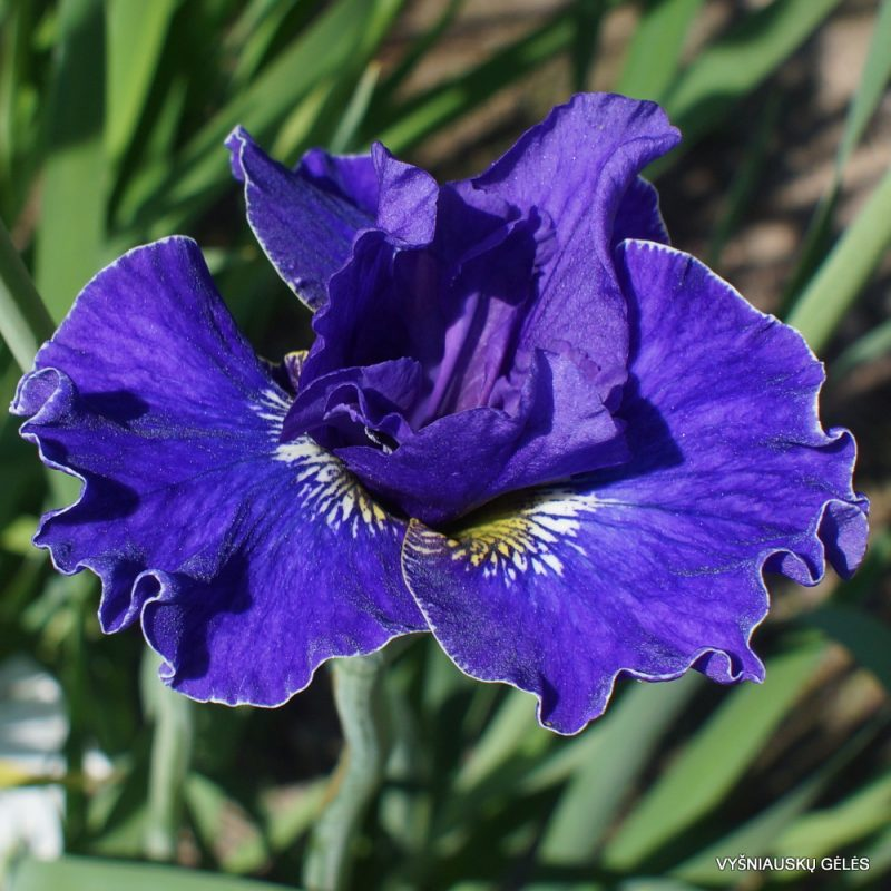 iris 'Plissee' (2)