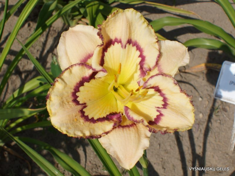 Daylily 'Faberge Easter' (2)