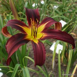 Daylily 'Focus'