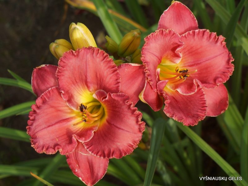 Daylily 'Forever Rosemary' (2)