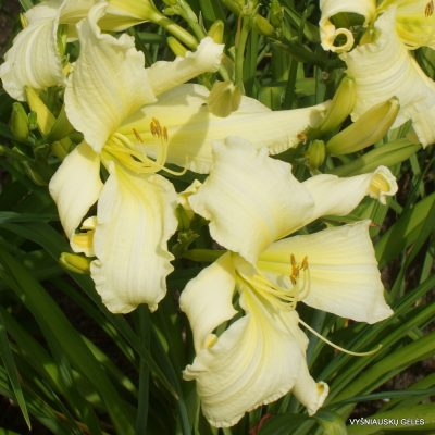 Daylily 'Fortress of Solitude'