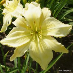 Daylily 'Give Me Eight'