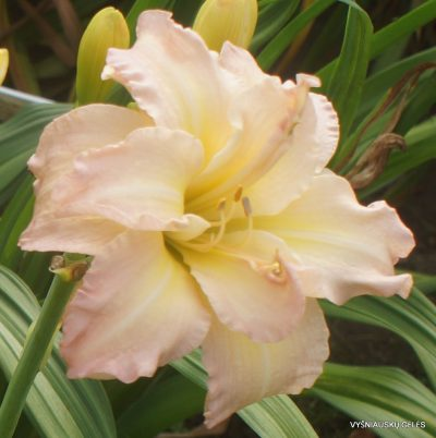 Daylily 'Ice Cream Dream'