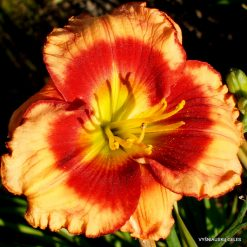 Daylily 'Last Fool Standing'