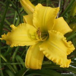 Daylily 'Yellow Viper'