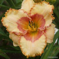 Hemerocallis 'Adorned With Joy'