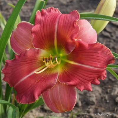 Hemerocallis 'Bettina Witte'