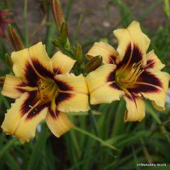 Hemerocallis 'Boitzer Late And Plenty' (2)