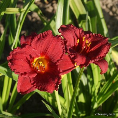 Hemerocallis 'Cranberry Baby' (2)