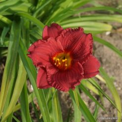 Hemerocallis 'Cranberry Baby'