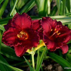 Hemerocallis 'Cranberry Baby' (3)