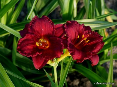 Hemerocallis 'Cranberry Baby' (3)